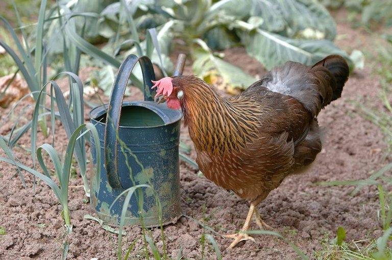 Free range hen is standing near a watering can. Please have look at my other rooster- and chicken photos.